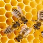 ハチが消失する日