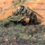 プロポリスとはミツバチが固めた植物のエキス