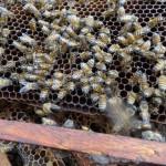 ミツバチは集団で生活している