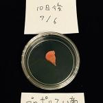 カビの実験(にんじん編) 10日目プロポリス1滴