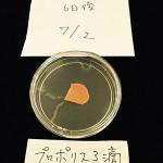 カビの実験(にんじん編)6日目プロポリス3滴