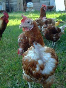 ブラジル産鶏肉による影響は広い