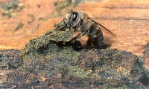 蜂とプロポリス